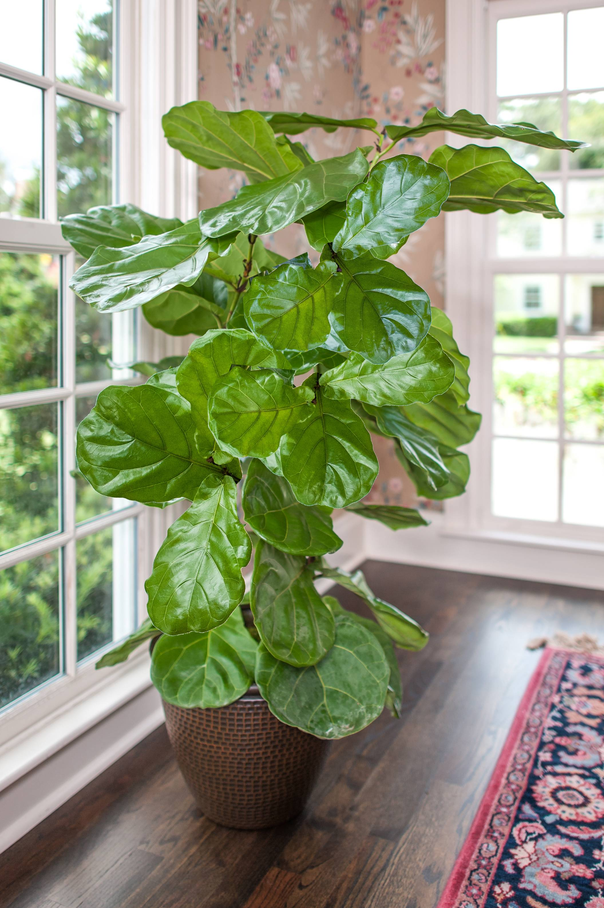 Ficus Lyrata set in a living room with a lot of light