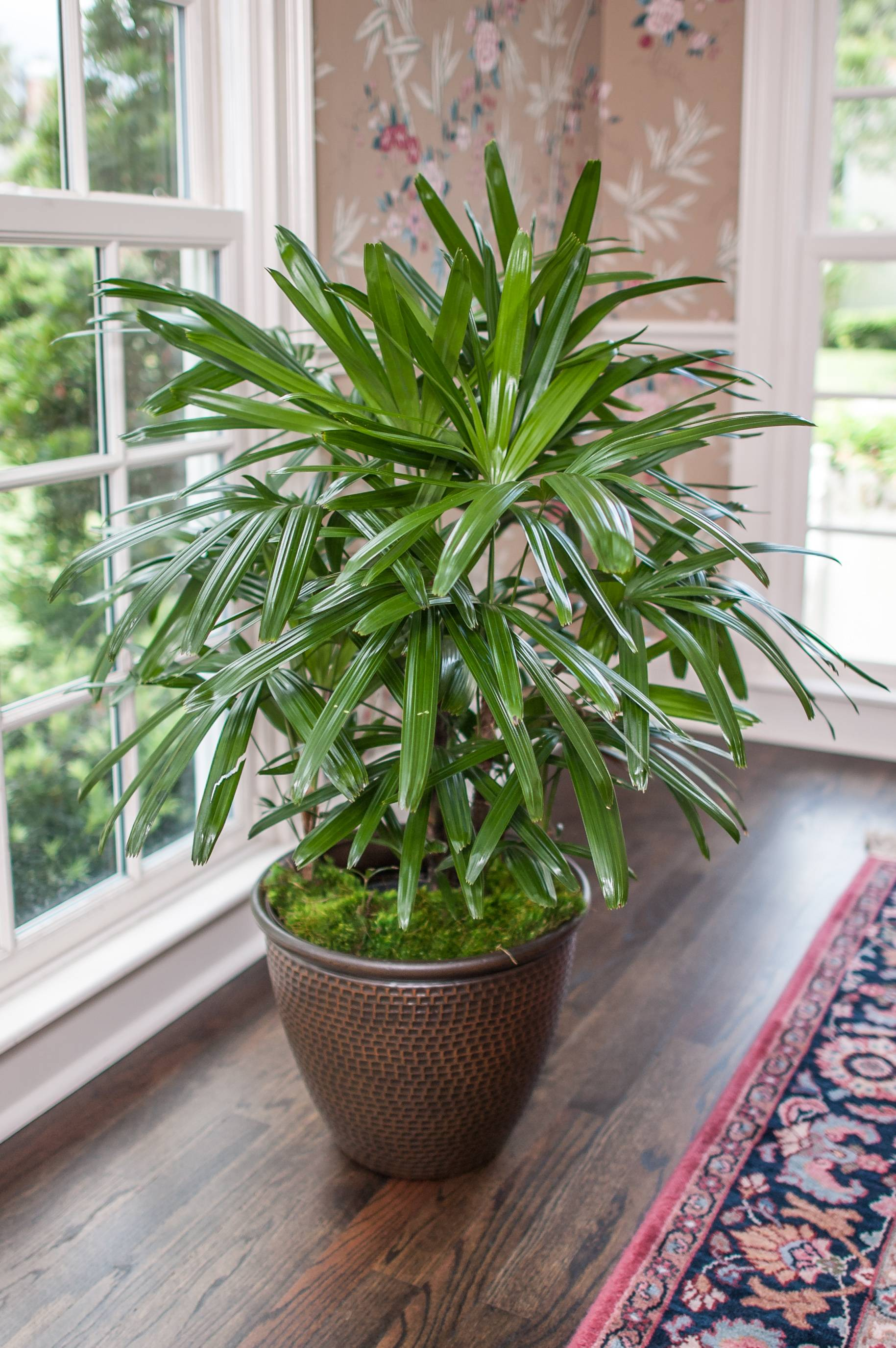 Florida Grown Rhapis Palm in a living room