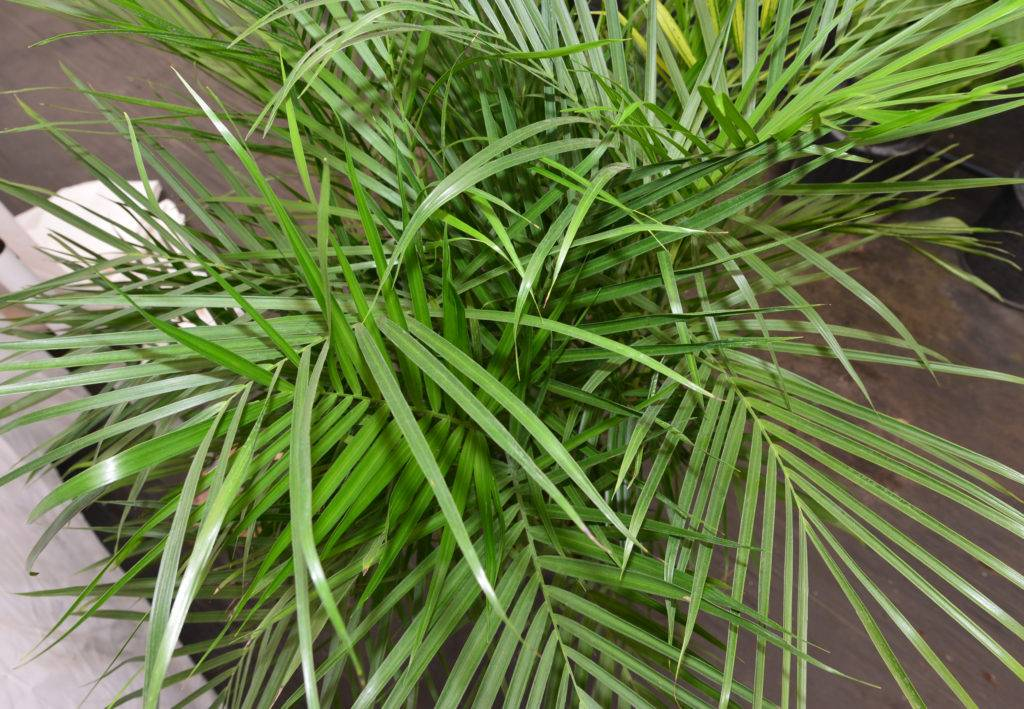 Your Complete Guide to Caring for a Bamboo Palm in Your Home