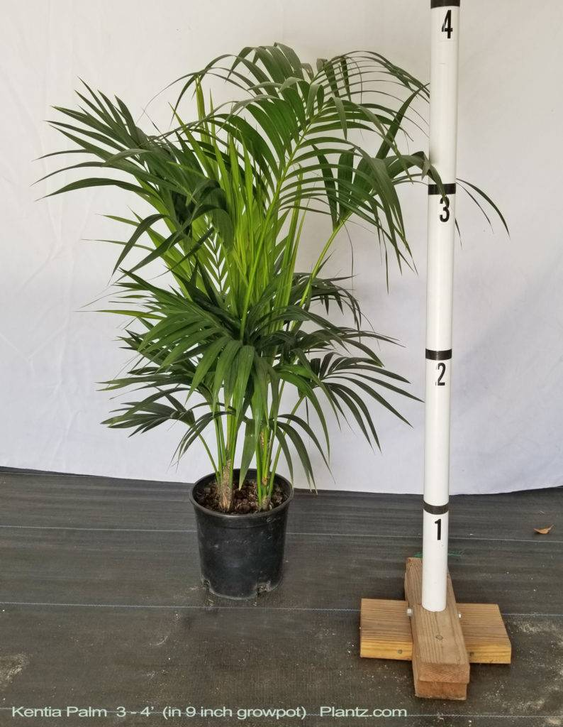 Kentia Palm Large High Quality Tropical Plants Shipped To