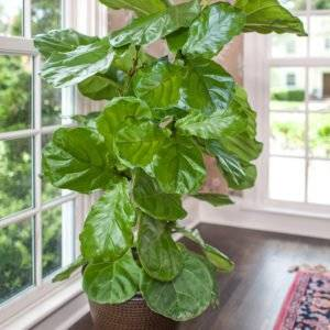Full Size Fiddle Leaf Fig Tree Ficus Lyrata Plants For